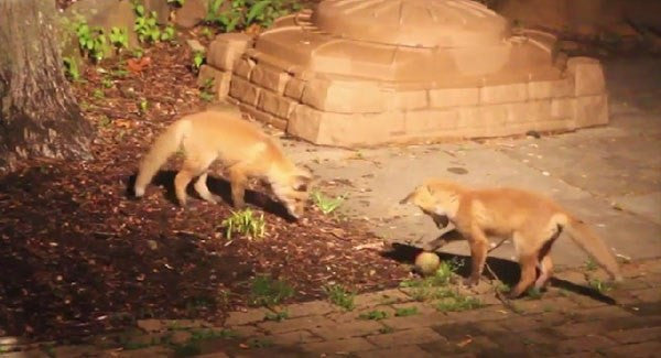 Video:  Fox Cubs Discover Joys of Dog Toys