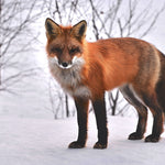 8 Reasons Why Foxes are Fascinating Creatures