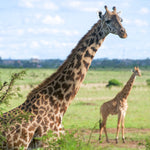 "Giraffes Placed on Endangered Species List, Face ""Silent Extinction"""