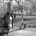 Why There Should Be a Ban on Horse Drawn Carriages