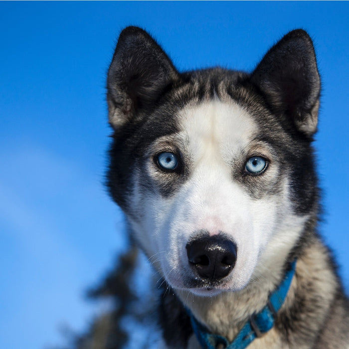 Four Dogs Die During This Year's Iditarod Dogsled Race