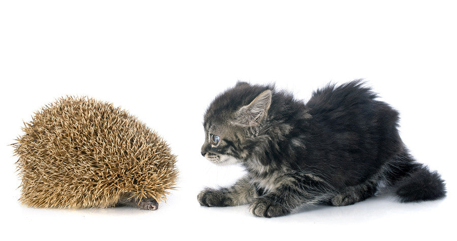 kitten meets hedgehog video