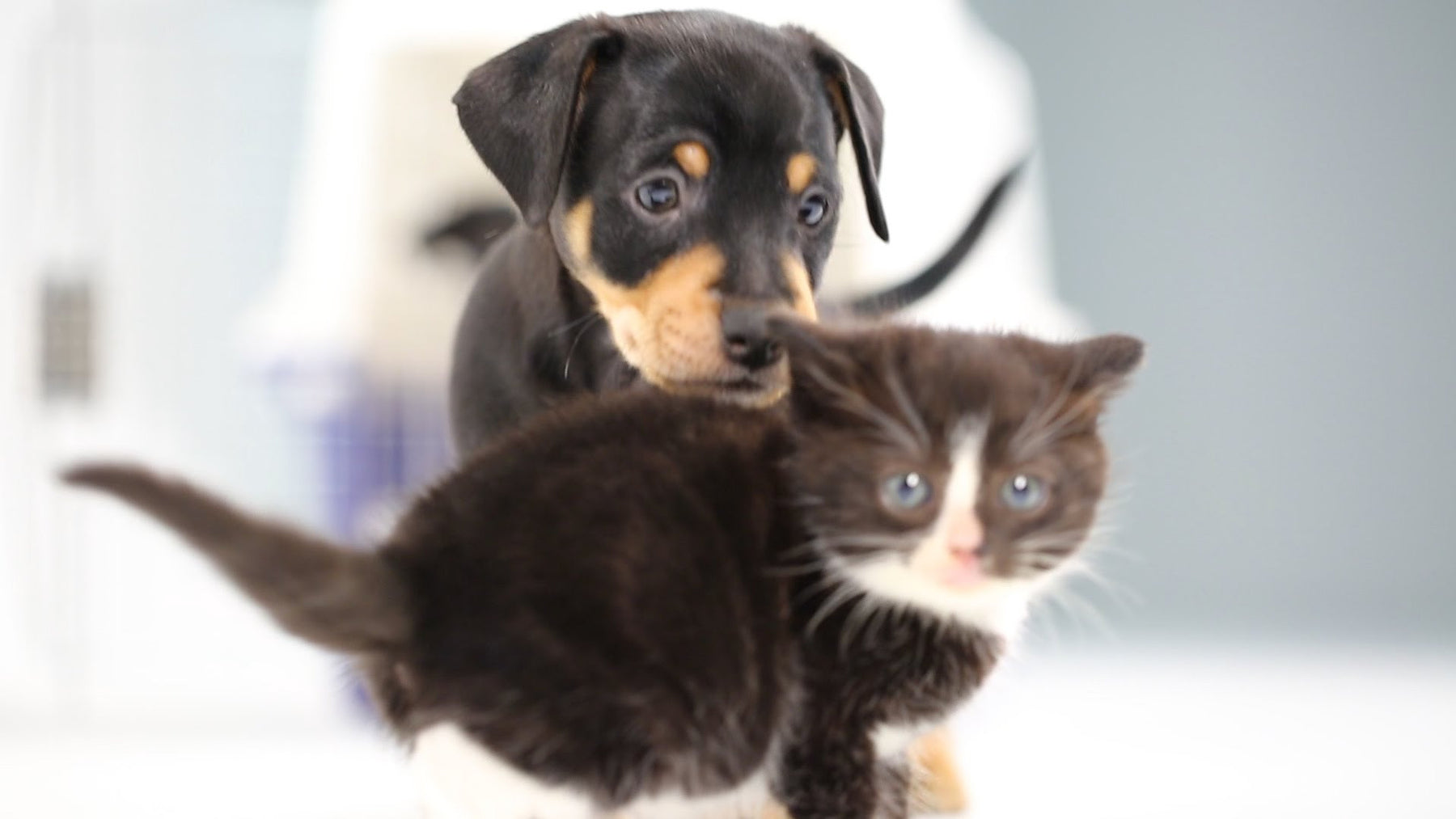 Adorable Video Shows What Happens When Kittens and Puppies Meet for the First Time