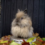Adorable Overload: Meet the Fluffy and Cute Lionhead Rabbit!