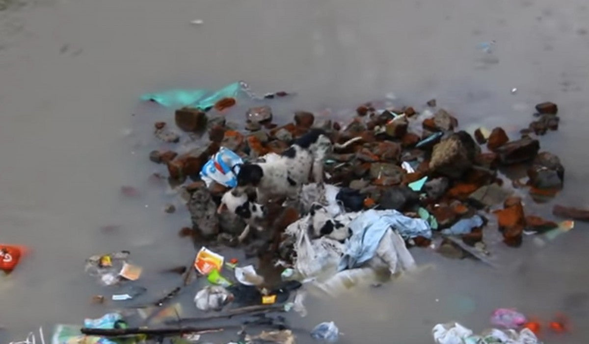Video:  Dogs Saves her Puppies in Flood