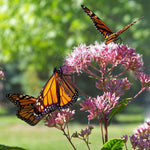 How to Create a Butterfly Garden to Help Save the Monarch Butterfly