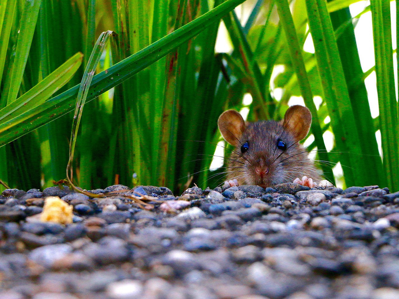 Humane Ways to Deal with Mice and Rats in Your Home