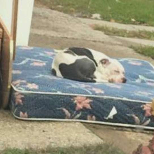 Abandoned Pit Bull Gets Second Chance at New Life