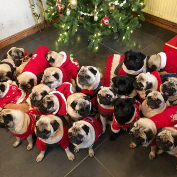 Adorable Pugs All Dressed Up for the Holidays!