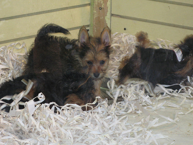 Ban on Pet Store Puppies Spreads Across U.S.