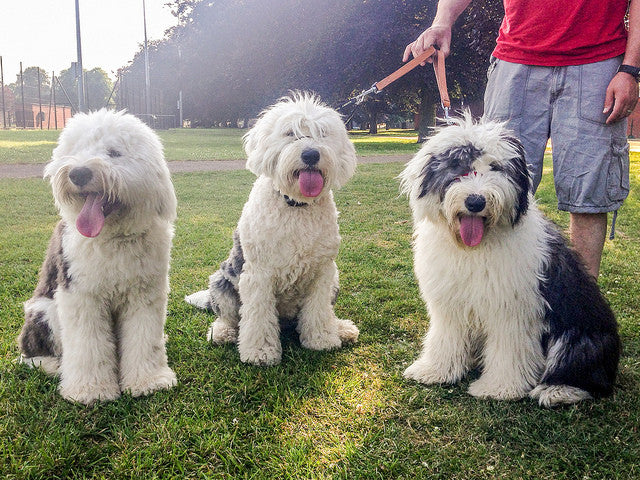10 Reasons Why We Love Old English Sheepdogs