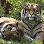 Captive Tigers in U.S. Outnumber Wild Tiger Population Worldwide