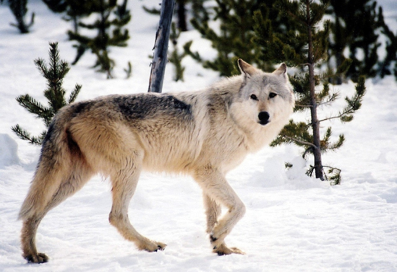 Thousands of Hunters Sign Up to Shoot Few Remaining Norwegian Wolves