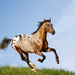 Nine Interesting Appaloosa Horse Facts You Might Not Know