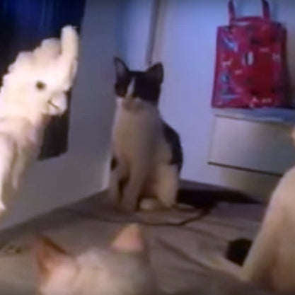 Watch a Meowing Cockatoo Confuse 3 Cute Kittens!