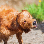 Preventing and Treating Heatstroke in Dogs