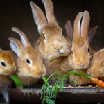 What Can Rabbits Eat? What to Feed Your Rabbit