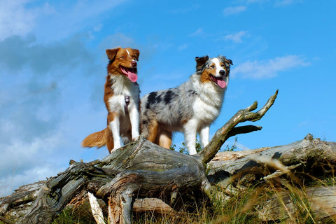 10 Best Dog Breeds For Active People Animal Hearted Apparel