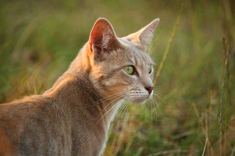 Australia's Feral Cats Face Uncertain Future