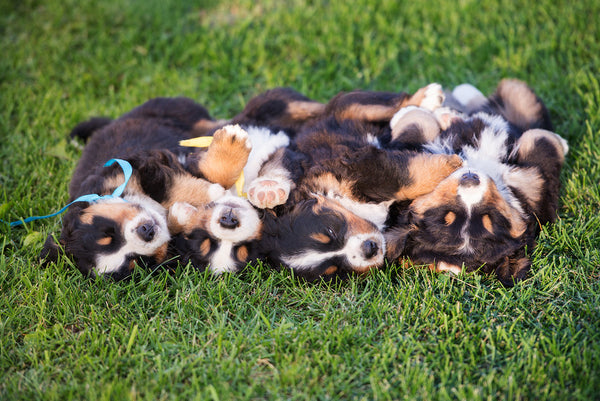 Bernese Mountain Dog Facts-puppies