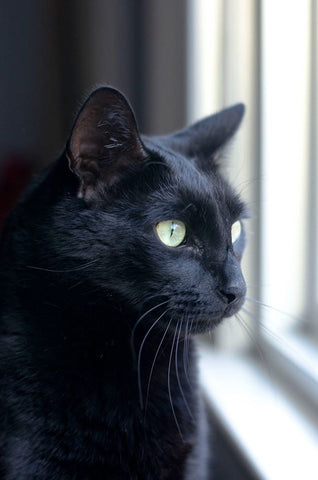 A Rescue Group Dedicated to Saving Homeless Black Cats