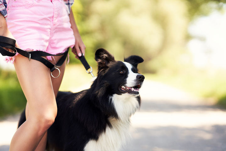 Border Collie on a run with owner