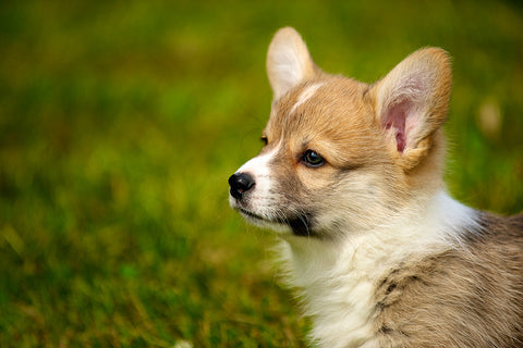 10 Seriously Cute Corgi Puppy Pictures Animal Hearted