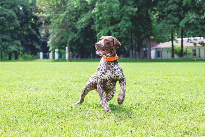 German Shorthair Pointer Running