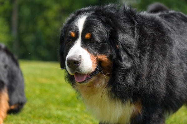 Bernese Mountain Dog Facts-loving