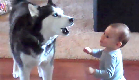 Husky Imitates Baby Video