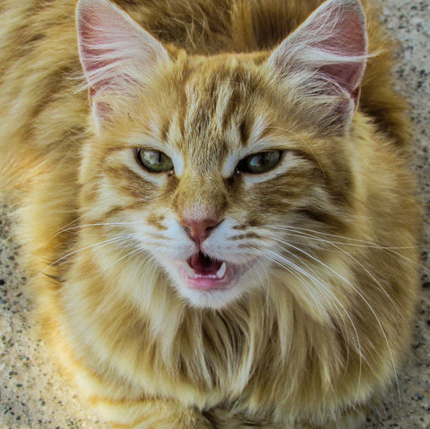 scientists seek to decipher the meaning of your cat s meow animal