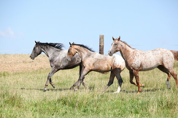 Names of Appaloosa Horses