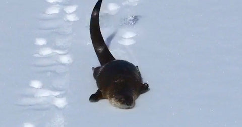 Cute Overload: Playful Otter Slides in the Snow!