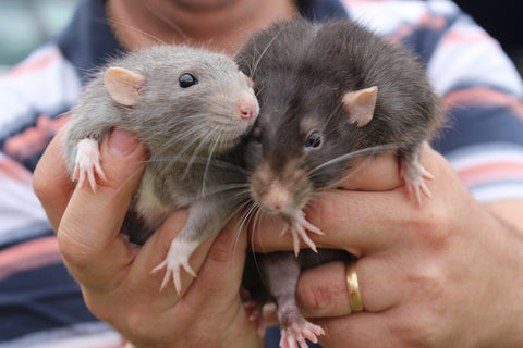 Adorable Experiment Proves Rats Love to Be Tickled!