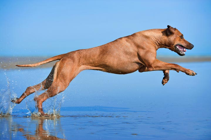 Rhodesian Ridgeback running in water