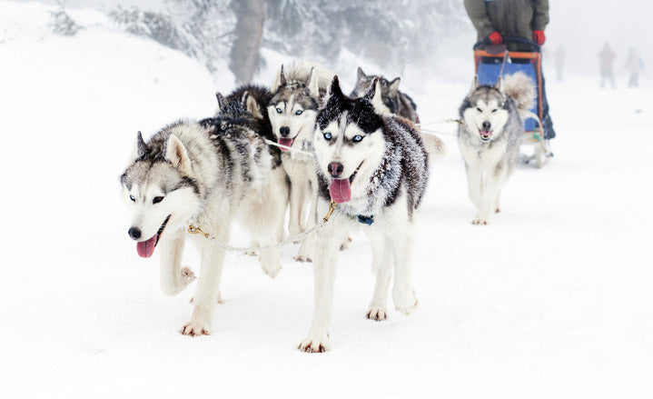 Siberian huskies pulling sled and running