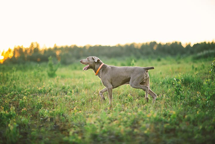 Weimaraner running in field