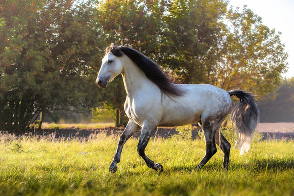 Andalusian Horse Temperment