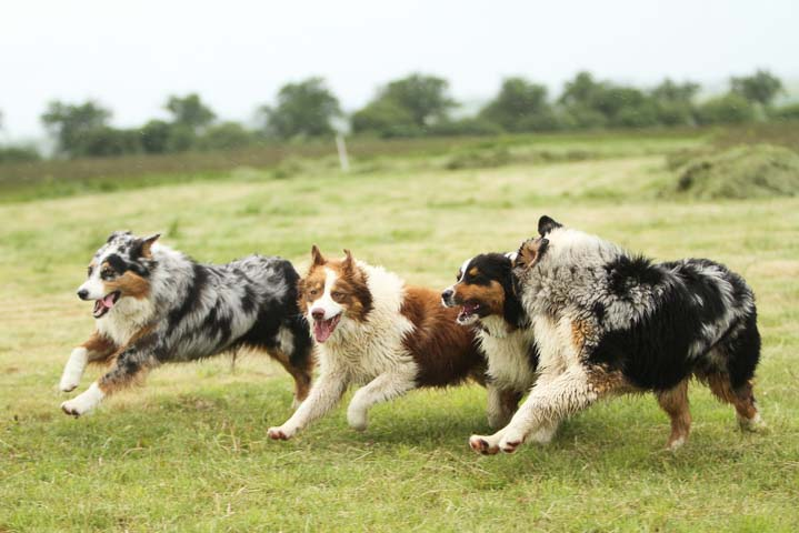 Australian Shepherds running together