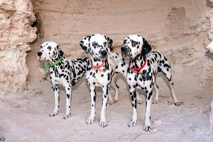 Dalmation dogs on a hike