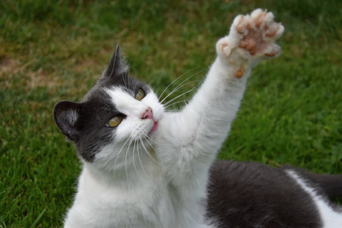 facts about cats and their paws