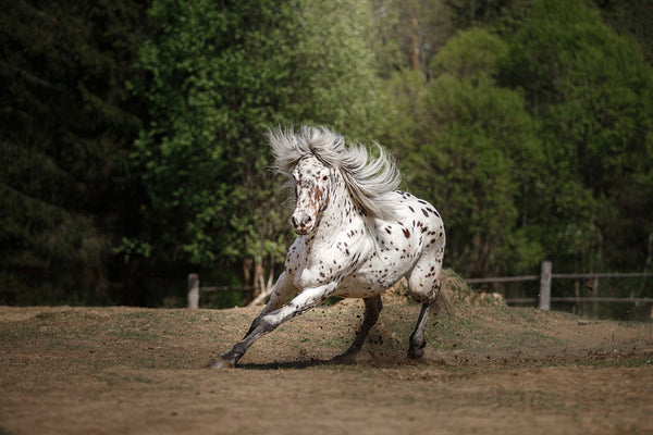 The Most Famous Appaloosa Horse Names – Animal Hearted Apparel