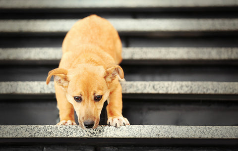 fear in dogs for stairs