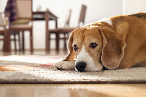 separation anxiety fear in dogs