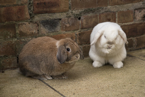 getting a bunny, both male and female