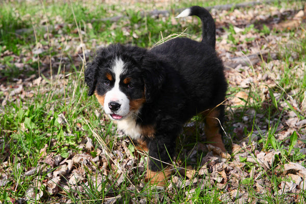 young Bernese mountain dog facts