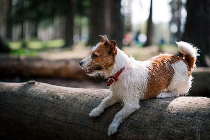 Jack Russell dog hiking