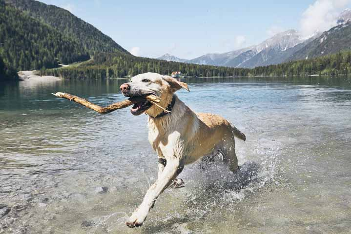 Labrador Retriever running in lake