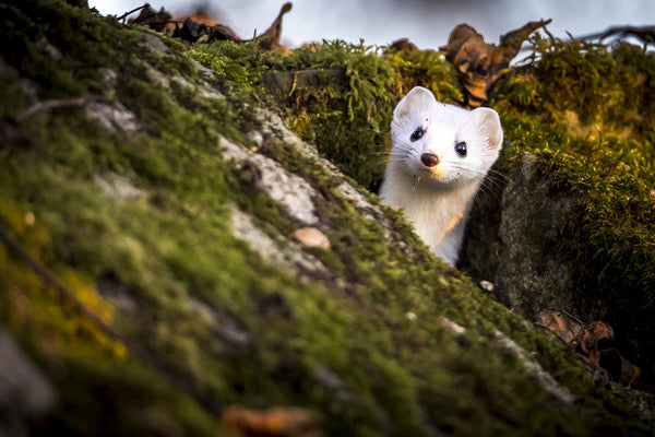 15 Things You Need To Know About Pet Weasels