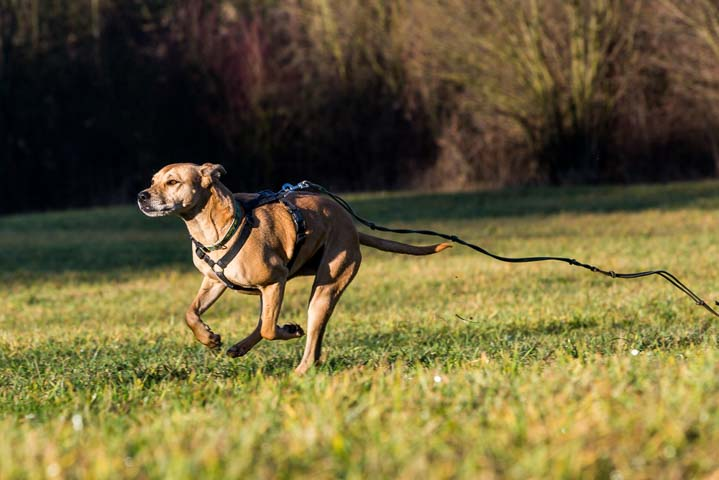 Mixed breed dog running on leash